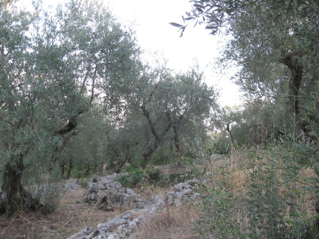 Lazio region - Olive Trees