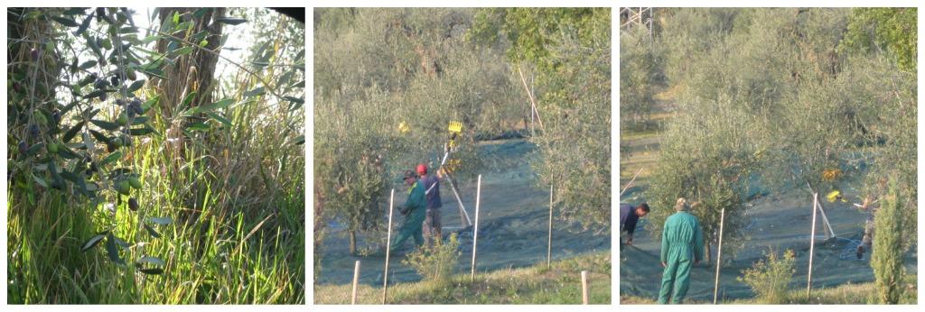 Olive Harvesting in Italy