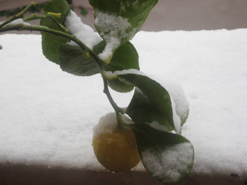 Snow in Rome 2012:Frozen Lemon