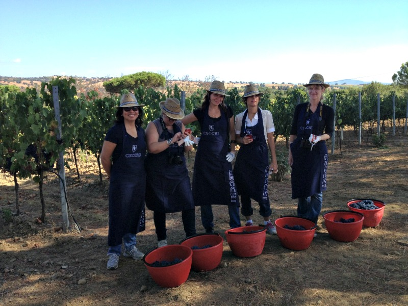 Grape Harvest in Tuscany with bloggers